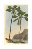 Double Coconut Palm Tree, Seychelles-Island Cocoa-nut, Lodoicea Sechellarum, Female And Male Giclee Print by William Jackson Hooker