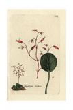"Yellow Mountain Saxifrage, Saxifraga Autumnalis, From Bulliard's ""Flora Parisiensis,"" 1776, Paris Giclee Print by Pierre Bulliard"