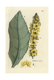 "Dark Mullein, Verbascum Nigrum, From Pierre Bulliard's ""Flora Parisiensis,"" 1776, Paris Giclee Print by Pierre Bulliard"