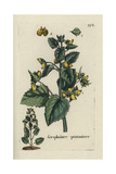 "Figwort, Scrophularia Verna, From Pierre Bulliard's ""Flora Parisiensis,"" 1776, Paris Giclee Print by Pierre Bulliard"