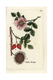 "Wild Rose, Rosa Canina, From Pierre Bulliard's ""Flora Parisiensis,"" 1776, Paris Giclee Print by Pierre Bulliard"