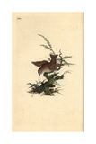 Wren From Edward Donovan's Natural History of British Birds, London, 1809 Giclee Print by Edward Donovan