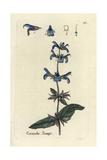 "Sage, Salvia Officinalis, From Pierre Bulliard's ""Flora Parisiensis,"" 1776, Paris Giclee Print by Pierre Bulliard"