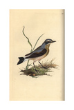 Northern Wheatear From Edward Donovan's Natural History of British Birds, London, 1816 Giclee Print by Edward Donovan