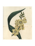 Glaucous-leaved Adam's Needle with Pale Yellow Flowers, Yucca Glauca, Native of Carolina Giclee Print by John Curtis