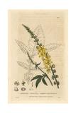 Common Agrimony, Agrimonia Eupatoria, From William Baxter's British Phaenogamous Botany, 1834 Giclee Print by William Delamotte