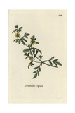 "Potentilla Supina From Pierre Bulliard's ""Flora Parisiensis,"" 1776, Paris Giclee Print by Pierre Bulliard"
