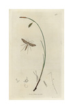 Adactylus Bennetii, Agdistis Staticis, Sea-side Plume Moth And Carex Limosa Grass Giclee Print by John Curtis