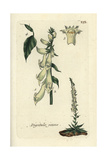 "Yellow Foxglove, Digitalis Lutea, From Pierre Bulliard's ""Flora Parisiensis,"" 1776, Paris Giclee Print by Pierre Bulliard"