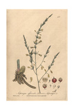 Asparagus Officinalis From William Baxter's British Phaenogamous Botany, Oxford, 1840 Giclee Print by Charles Mathews