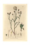 Blue Flea-bane, Erigeron Acris, From William Baxter's British Phaenogamous Botany, 1835 Giclee Print by Charles Mathews