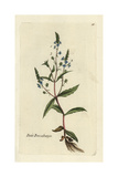 "Water Speedwell, Veronica Anagallis-aquatica, From Bulliard's ""Flora Parisiensis,"" 1776, Paris Giclee Print by Pierre Bulliard"