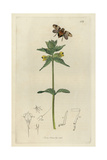 Issus Coleoptratus, Variegated Issus Plant-hopper, And Yellow Rattle, Rhinanthus Crista-galli Giclee Print by John Curtis