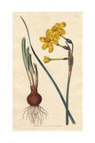 Common Jonquil with Vivid Yellow Flowers, Bulb And Roots, Native of Spain, Narcissus Jonquilla Giclee Print by James Sowerby