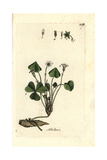 "Common Wood-sorrel, Oxalis Acetosella, From Pierre Bulliard's ""Flora Parisiensis,"" 1776, Paris Giclee Print by Pierre Bulliard"