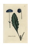 "Woodland Scabiosa, Anisodens Longifolius, From Pierre Bulliard's ""Flora Parisiensis,"" 1776, Paris Giclee Print by Pierre Bulliard"