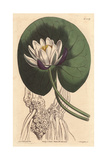 Cup-flowered Water Lily with Large White Flower in Front of Round Lily Pad, Nymphaea Nitida Giclee Print by Sydenham Edwards