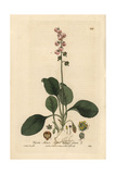Lesser Winter Green, Pyrola Minor, From William Baxter's British Phaenogamous Botany, 1837 Giclee Print by H. Bidwell