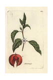 "Chinese Lantern Plant, Physalis Alkekengi, From Pierre Bulliard's ""Flora Parisiensis,"" 1776, Paris Giclee Print by Pierre Bulliard"