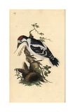 Middle Spotted Woodpecker From Edward Donovan's Natural History of British Birds, London, 1809 Giclee Print by Edward Donovan