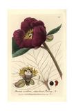 Wild Peony, Paeonia Corallina, From William Baxter's British Phaenogamous Botany, 1836 Giclee Print by Isaac Russell