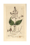 Enchanter's Nightshade, Circaea Lutetiana, From W. Baxter's British Phaenogamous Botany, 1834 Giclee Print by Isaac Russell