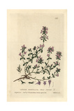 Wild Thyme, Thymus Serpyllum, From William Baxter's British Phaenogamous Botany, 1834 Giclee Print by Isaac Russell
