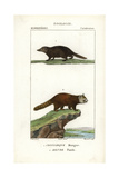 Kusimanse And Red Panda From Frederic Cuvier's Dictionary of Natural Science: Mammals, Paris, 1816 Giclee Print