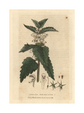 "White Deadnettle, Lamium Album, From Pierre Bulliard's ""Flora Parisiensis,"" 1776, Paris Giclee Print by Isaac Russell"