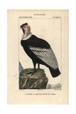 Andean Condor From Sainte-Croix's Dictionary of Natural Science: Ornithology, Paris, 1816-1830 Impression giclée
