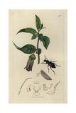 Carabus Exasperatus, Carabus Violaceus, Portland Carabus, And Deadly Nightshade, Atropa Belladonna Giclee Print by John Curtis