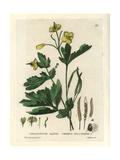 Celandine, Chelidonium Majus, From William Baxter's British Phaenogamous Botany, 1834 Giclee Print by William Delamotte