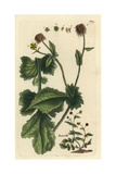 "Wood Avens, Geum Urbanum, From Pierre Bulliard's ""Flora Parisiensis,"" 1776, Paris Giclee Print by Pierre Bulliard"