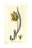 Wild Tulip, Tulipa Sylvestris, From William Baxter's British Phaenogamous Botany, 1834 Giclee Print by Isaac Russell