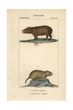 Capybara And Vole From Frederic Cuvier's Dictionary of Natural Science: Mammals, Paris, 1816 Giclee Print