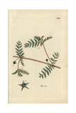 "Bullhead, Tribulus Terrestris, From Pierre Bulliard's ""Flora Parisiensis,"" 1776, Paris Giclee Print by Pierre Bulliard"