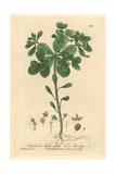 Sun Spurge, Euphorbia Helioscopia, From William Baxter's British Phaenogamous Botany, 1840 Giclee Print by Charles Mathews
