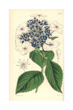 Hydrangea Japonica Var. Caerulea, Japan Hydrangea Blue-flowered Variety Giclee Print by Walter Hood Fitch