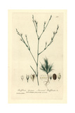 Annual Buffonia, Buffonia Annua, From William Baxter's British Phaenogamous Botany, 1835 Giclee Print by Charles Mathews