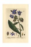 "Borage, Borago Officinalis, From Pierre Bulliard's ""Flora Parisiensis,"" 1776, Paris Giclee Print by William Delamotte"