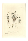 Early Knappia, Knappia Agristidea, From William Baxter's British Phaenogamous Botany, 1836 Giclee Print by Charles Mathews