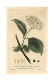 Wild Cornal, Cornus Sanguinea, From William Baxter's British Phaenogamous Botany, 1834 Giclee Print by Isaac Russell