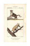 Sugar Glider And Cuscus From Frederic Cuvier's Dictionary of Natural Science: Mammals, Paris, 1816 Giclee Print