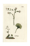"Meadow Saxifrage, Saxifraga Granulata, From Pierre Bulliard's ""Flora Parisiensis,"" 1776, Paris Giclee Print by Pierre Bulliard"
