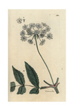 "Lovage, Ligusticum Levisticum, From Pierre Bulliard's ""Flora Parisiensis,"" 1776, Paris Giclee Print by Pierre Bulliard"