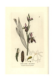 Bee Orchis, Ophrys Apidera, From William Baxter's British Phaenogamous Botany, 1834 Giclee Print by Isaac Russell