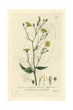 Nipple-wort, Lapsana Communis, From William Baxter's British Phaenogamous Botany, 1835 Giclee Print by Isaac Russell