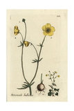 "Bulbous Buttercup, Ranunculus Bulbosa, From Pierre Bulliard's ""Flora Parisiensis,"" 1776, Paris Giclee Print by Pierre Bulliard"