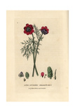 Pheasant's Eye, Adonis Autumnalis, From William Baxter's British Phaenogamous Botany, 1834 Giclee Print by Isaac Russell