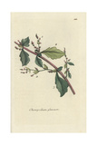 "Oak-leaved Goosefoot, Chenopodium Glaucum, From Pierre Bulliard's ""Flora Parisiensis,"" 1776, Paris Giclee Print by Pierre Bulliard"